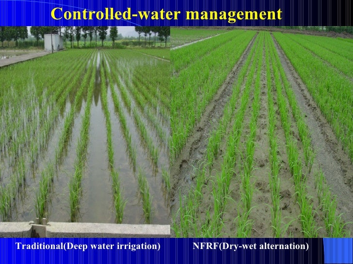 irrigation fertilizer application in rice